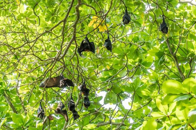 Fliegende füchse, die größte fledermaus am baum, findet man normalerweise auf similan-inseln in thailand.