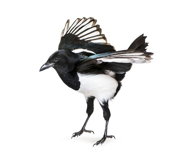 Fliegende gemeinsame elster, pica pica, abheben, vor weißer fläche