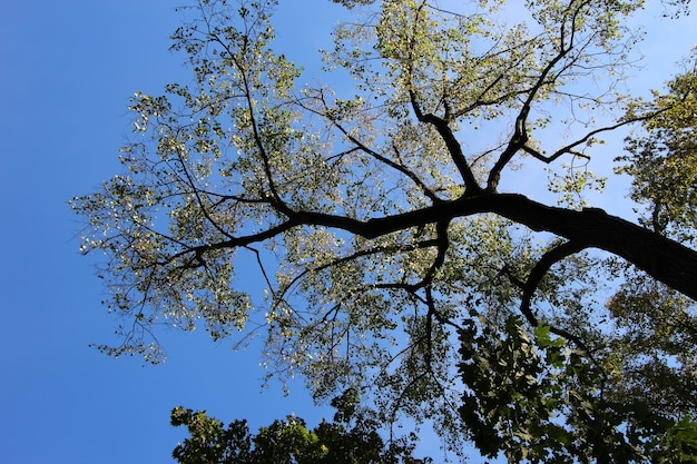 Fliegende halbe espenkrone blick nach oben entlang des baumstammes