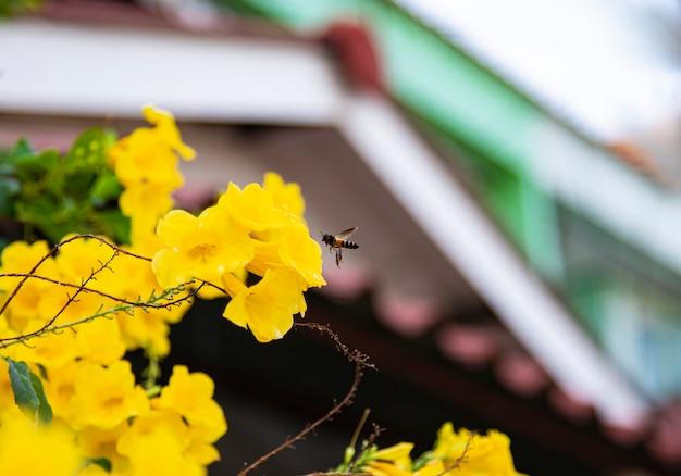 Fliegende honigbiene, die pollen an der gelben blume sammelt.