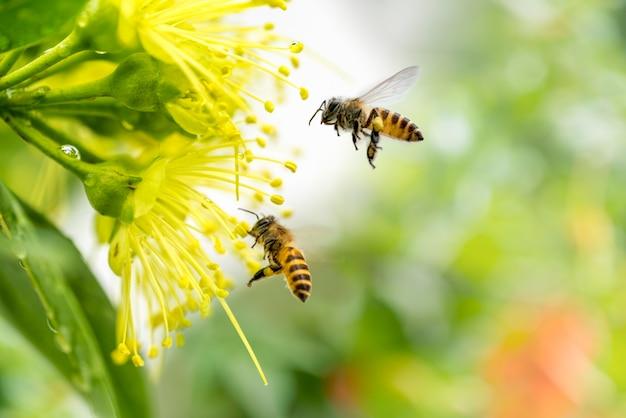 Fliegende honigbiene sammelt pollen an gelber blume.