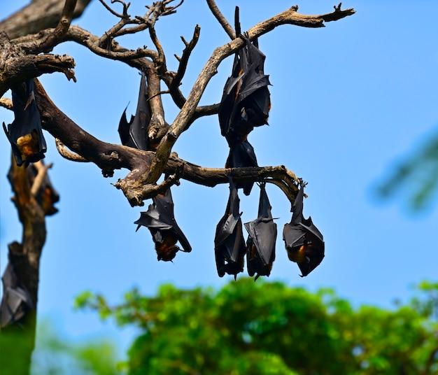 Fliegende hunde in freier wildbahn auf der insel sri lanka