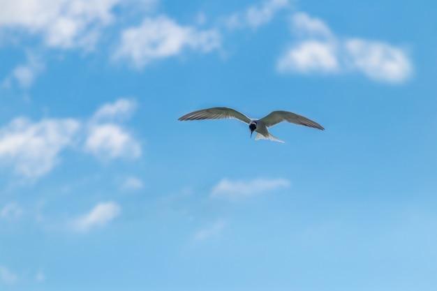 Fliegende möwe, möwe am blauen himmel