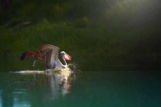 Fliegende und anziehende fische des weißen pelikans und des brahminy-drachens (rotrücken-seeadler) im see