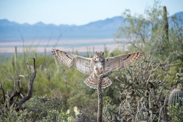 Fliegende virginia-uhu mit offenen flügeln, landung im südwesten der wüste