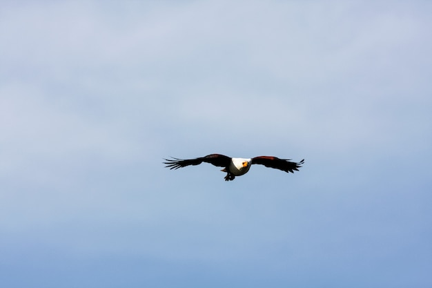 Fliegender adlerangler über naivasha see. kenia, afrika