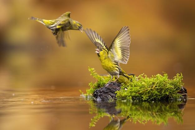 Fliegender eurasischer zeisig, der andere mit offenen flügeln herausfordert.