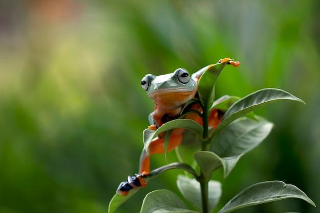 Fliegender frosch, der auf grünen blättern sitzt, schöner laubfrosch auf grünen blättern