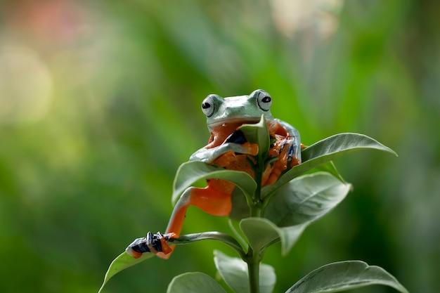 Fliegender frosch, der auf grünen blättern sitzt
