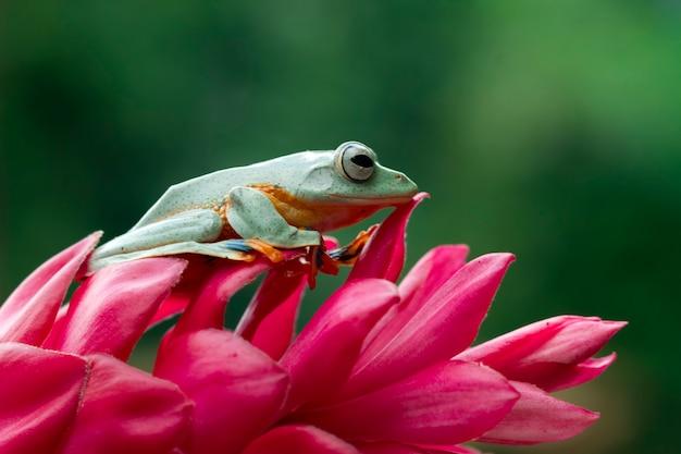 Fliegender frosch, der auf roter blume sitzt