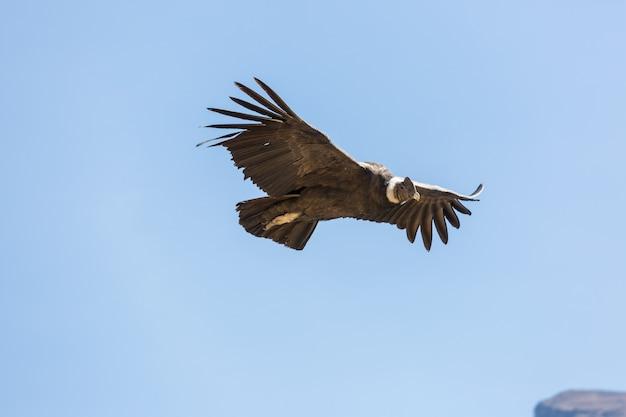 Fliegender kondor in der colca-schlucht, peru
