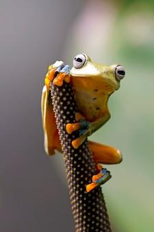 Fliegender laubfrosch, wallace-frosch, javan-laubfrosch, rhacophorus reinwardtii