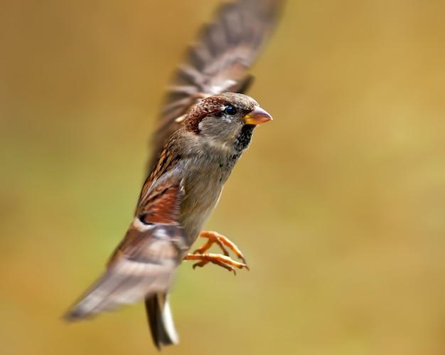 Fliegender spatz