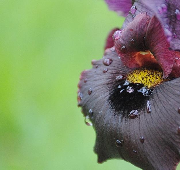 Flora. schwarze iris. blühende blumen. schöne blumen