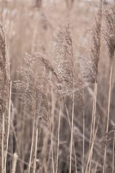 Floral minimalistische inneneinrichtung im boho-stil herbstkomposition mit trockenem goldenem schilf pampasgras