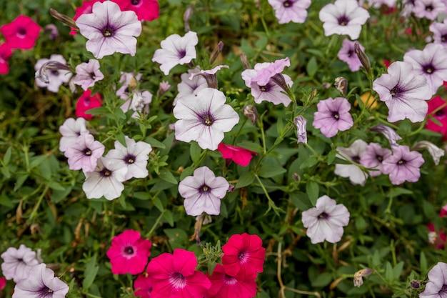 Florale landschaftsgestaltung bringt eine menge farbe auf die straßen der stadt, stadtbetten mit blumen, verantwortung für die umwelt. helle rosa und weiße petunien mit blumen. blumenbeet im sommergarten.