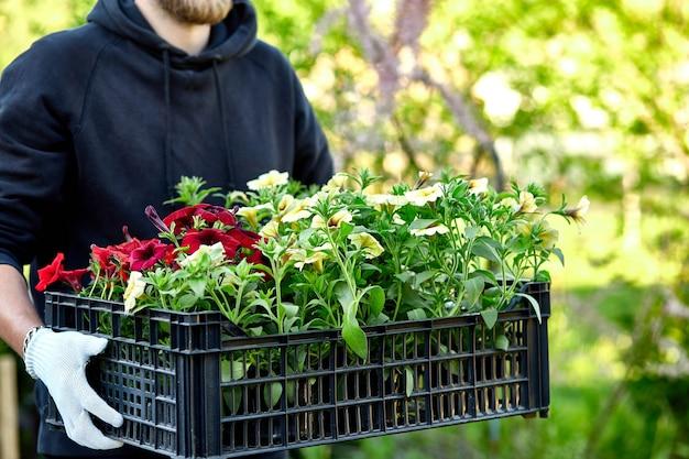 Florist halten box voller petunienblumen. gärtner trägt blumen in der kiste im laden.