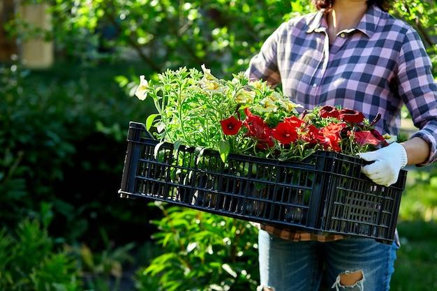 Florist halten box voller petunienblumen. gärtner trägt blumen in der kiste im laden