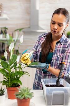 Floristenfrau, die morgens blumenblätter auf dem küchentisch abwischt. verwenden sie fruchtbaren boden mit einer schaufel in einen topf, einen weißen keramikblumentopf und pflanzen, die zum umpflanzen für die hausdekoration vorbereitet sind, um sie zu pflegen