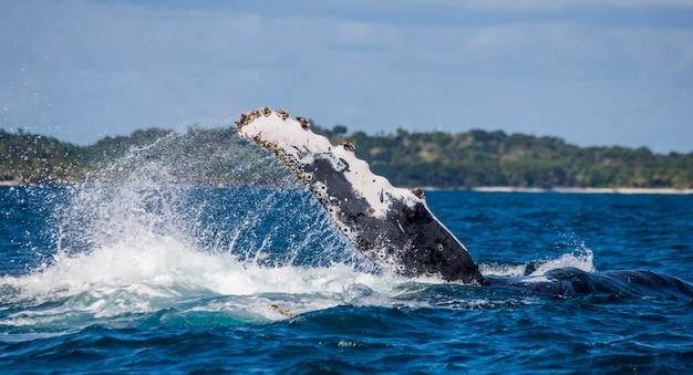 Flossen buckelwal