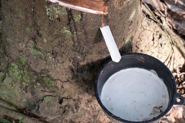 Flüssiger latex der nahaufnahme tropft vom gummibaum in der schwarzen tasse.
