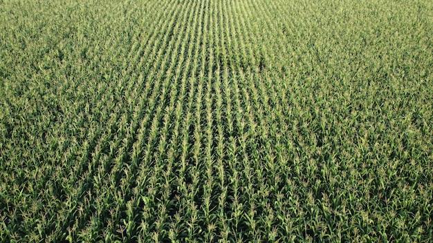 Flug über ein feld mit grünem mais, reifender mais auf einem landwirtschaftlichen gebiet.