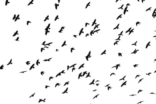 Flug von schwarzen vögeln auf weißem hintergrund