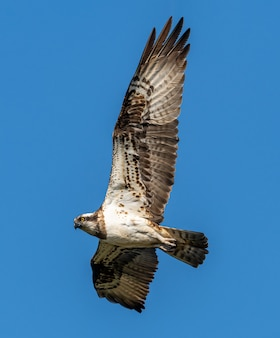 Flussfalke oder fischadler (pandion haliaetus) im flug, wildtier