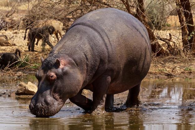 Flusspferd im erindi game reserve, namibia
