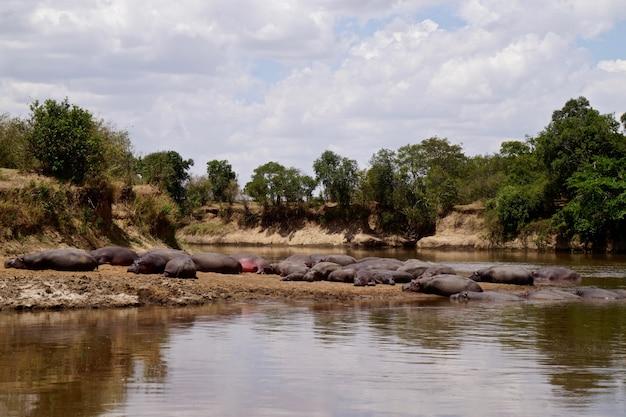 Flusspferde im masai mara nationalpark - kenia
