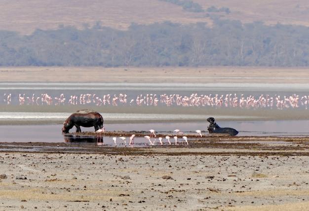 Flusspferde im ngorongoro-krater - tansania