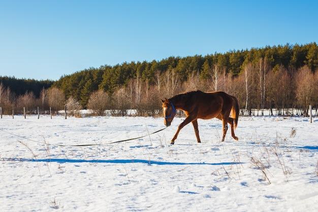 Fohlen in einem sonnigen winterfeld trottet