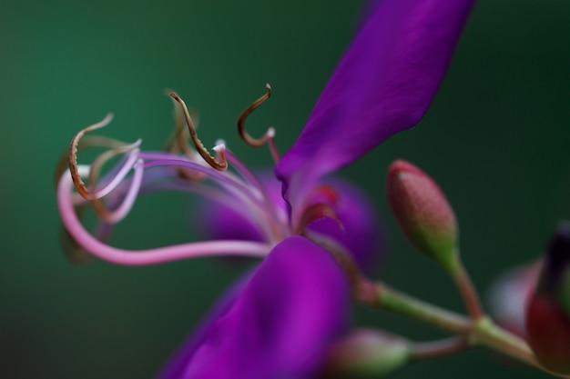 Fokus pollen tibouchina urvilleana