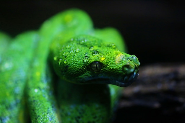 Fokussiertau auf kopf der grünen schlange