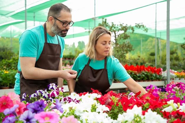 Fokussierte floristen, die petunienpflanzen in töpfen überprüfen