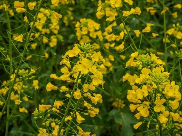 Fokussierte senfblumen auf naturhintergrund am sonnigen tag