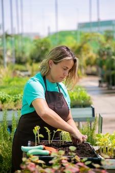Fokussierte weibliche professionelle gärtnerin, die sprossen im behälter mit erde im gewächshaus pflanzt. vertikaler schuss. gartenarbeit, botanik, anbaukonzept.