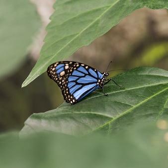 Fokussierter blauer schmetterling auf blatt