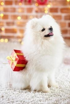 Fokussierter hund mit weihnachtsgeschenk, das nach oben schaut