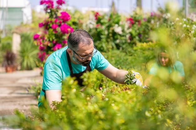 Fokussierter mann, der schürze trägt, pflanzen im garten wächst, zweige schneidet. blick durch die brille. gartenberufskonzept