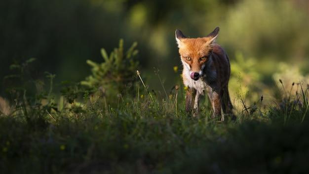 Fokussierter rotfuchs, der im sommer bei sonnenuntergang den mund anstarrt und leckt