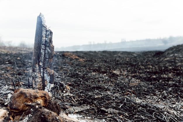 Folgen des sommerlichen waldbrands. verbranntes schwarzes schilf im sumpf, hintergrund