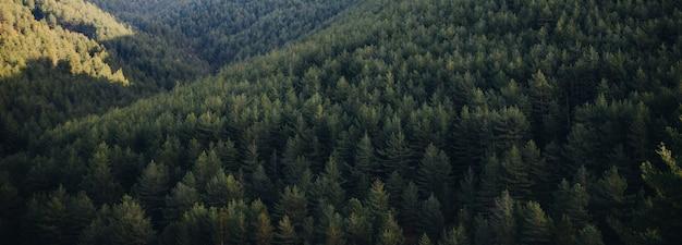 Forest landscape von gree-kiefern am frühling im berg bei sonnenaufgang