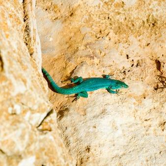 Formentera-eidechse podarcis pityusensis formenterae