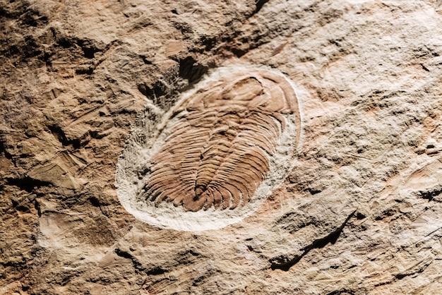 Fosil aus gut erhaltenen eccaparadoxiden.