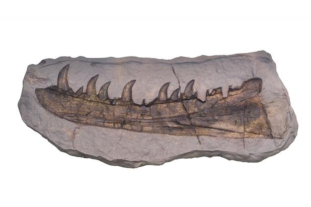 Fossil mit beschneidungspunkt