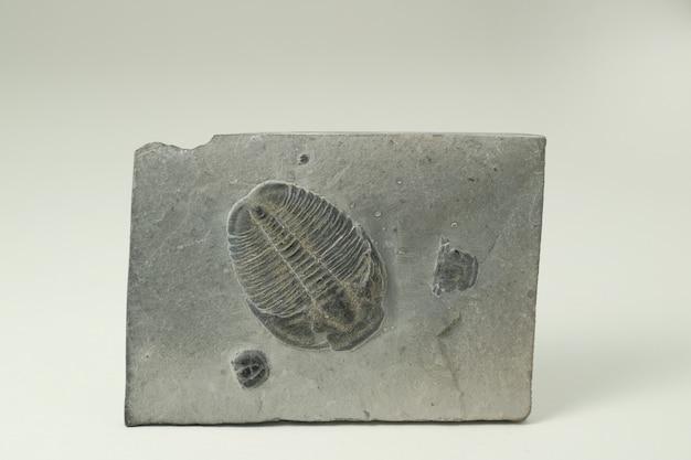 Fossiler ammonit im felsen.