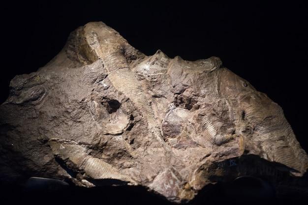 Fossiler fisch, eingebettet in eine steinerne, echte alte versteinerte muschel als brennstoff