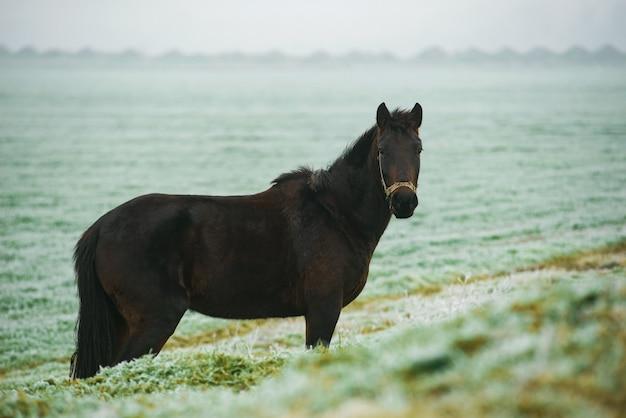 Foto des dunklen pferdes auf frostigem dezemberfeld, das gras isst
