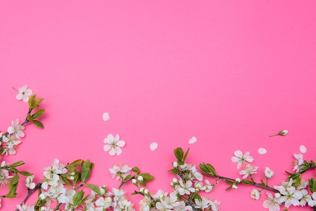 Foto des frühlingsweißkirschblütenbaums auf pastellrosa oberfläche